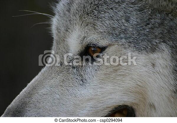 Ojo de lobo - csp0294094