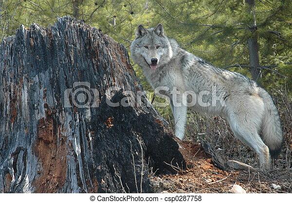 Lobo y muñón - csp0287758