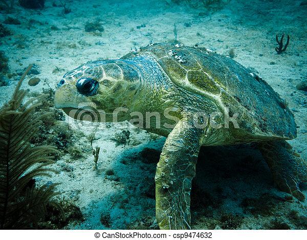 Loggerhead Turtle on Coral Reef - csp9474632