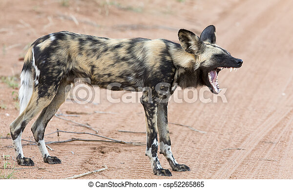 Lone African wild dog hunting calling its mates - csp52265865