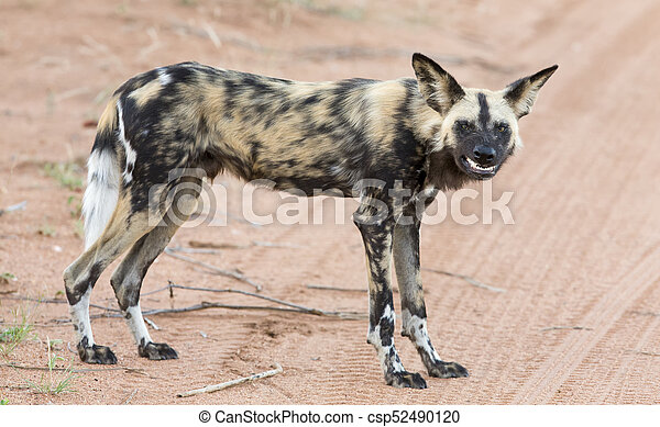 Lone African wild dog hunting calling its mates - csp52490120