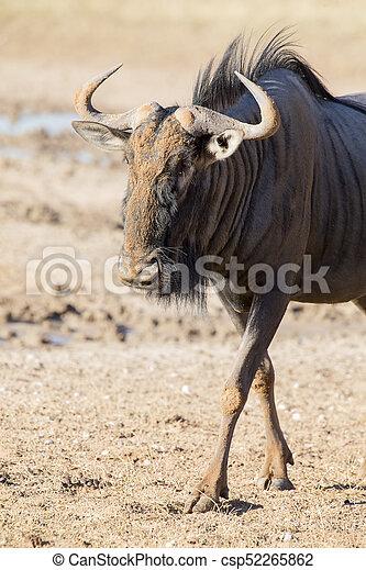 Lone Blue Wildebeest bull walking carefully across an open plain in the Kalahari - csp52265862