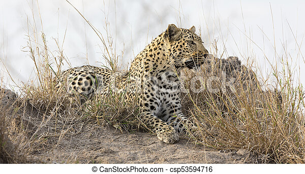 Lone leopard lay down resting on an anthill in nature during daytime - csp53594716