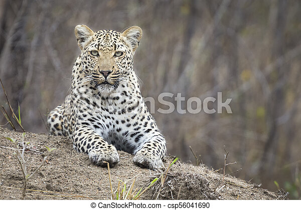 Lone leopard lay down resting on an anthill in nature during daytime - csp56041690