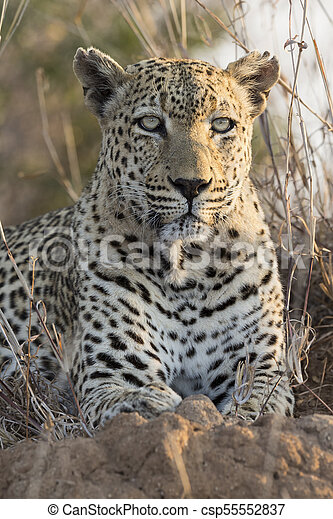 Lone leopard lay down resting on an anthill in nature during daytime - csp55552837