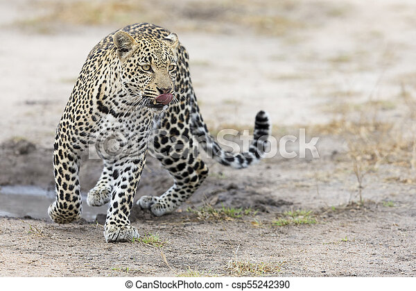 Lone leopard walking and hunting during daytime - csp55242390
