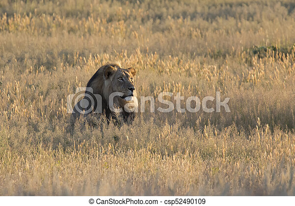 Lone lion male lay down to rest in Kalahari grass - csp52490109