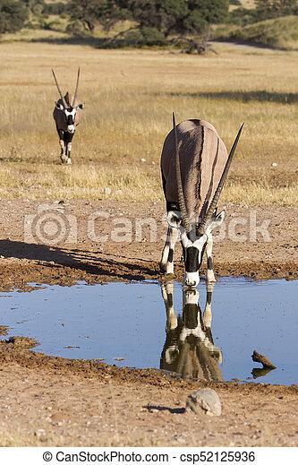Lone Oryx drinking water from a pool in the hot Kalahari sun - csp52125936