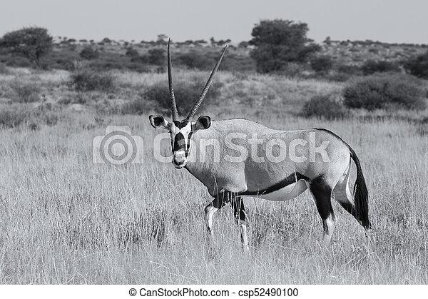 Lone Oryx walking over a grassy plain in the hot Kalahari sun artistic conversion - csp52490100