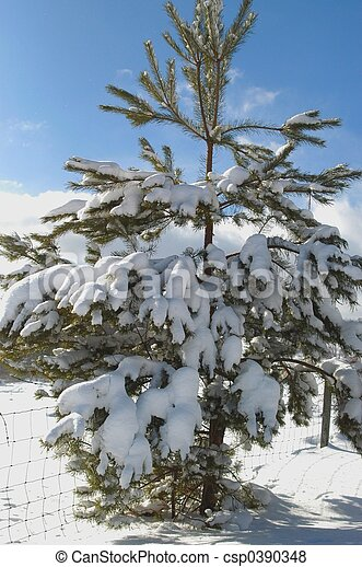 Lone pine in snow - csp0390348