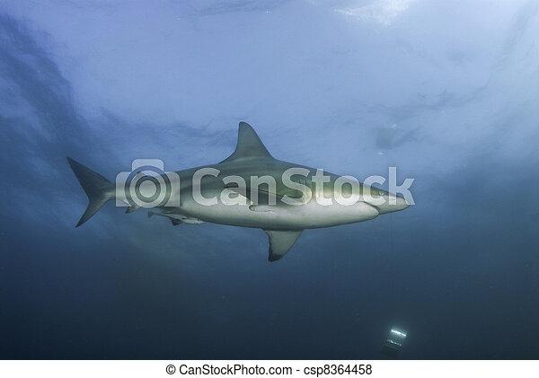 Lone shark - csp8364458