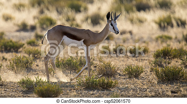 Lone springbok jogging to its herd late in the afternoon on a Kalahari plain - csp52061570