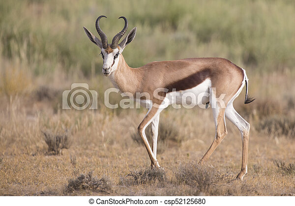 Lone springbok jogging to its herd late in the afternoon on a Kalahari plain - csp52125680