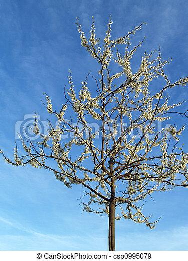 Lone White Redbud Tree - csp0995079