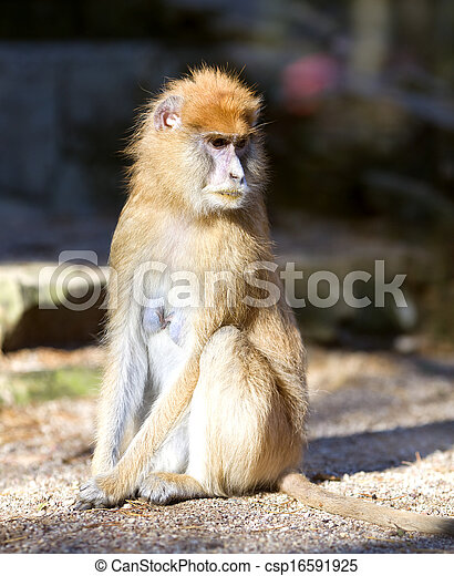 Lonely African Patas monkey  - csp16591925