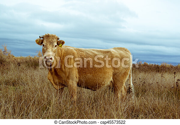 Lonely cow a field on delta of river Evros Greece - csp45573522