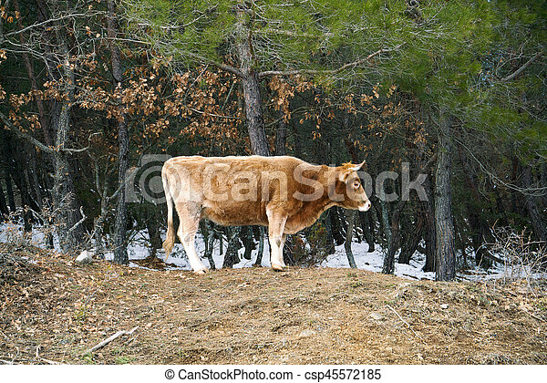 lonely cow on woods in Evros Greece - csp45572185