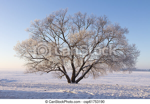 Lonely frosty tree on snowy meadow. Winter scene of nature. Soft sunlight illuminate tree on snow. Christmas background. Natural winter park. - csp61753190