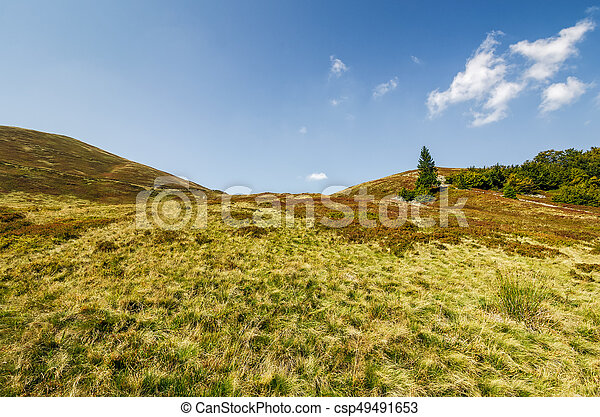 lonely spruce tree on a grassy meadow of the mountain ridge - csp49491653
