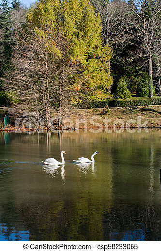 Lonely swans live in the pond - csp58233065