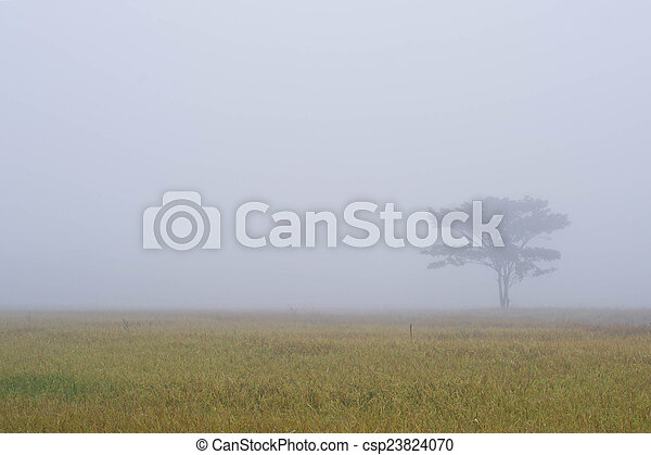Lonely tree on the cornfield with morning mist - csp23824070