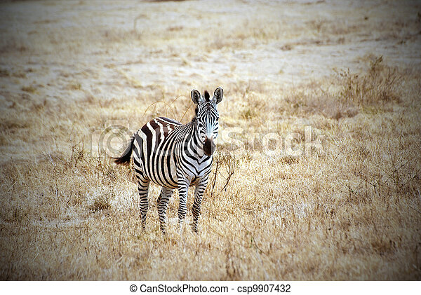 Lonely zebra picture with vignetting effect - csp9907432