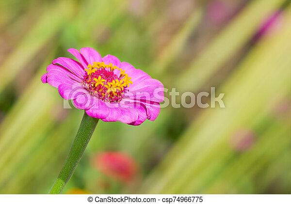 Lonely Zinnia flower in a summer garden - csp74966775