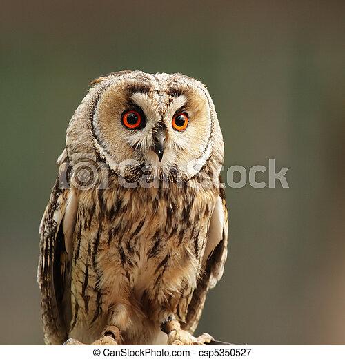 Long-eared Owl (Asio otus) - csp5350527