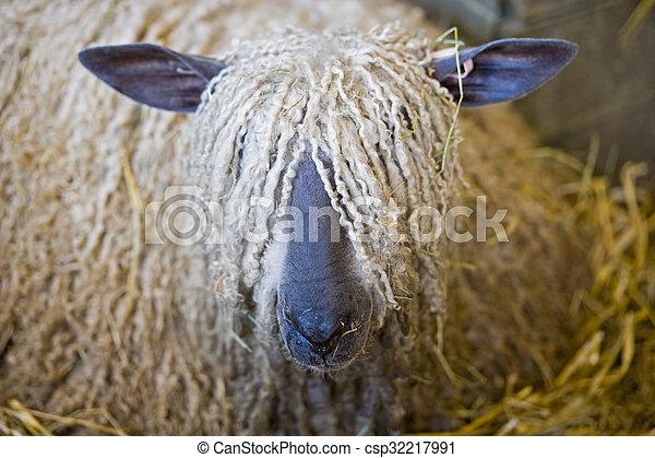 Long hair sheep