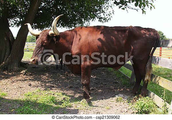 Long Horn Steer - csp21309062