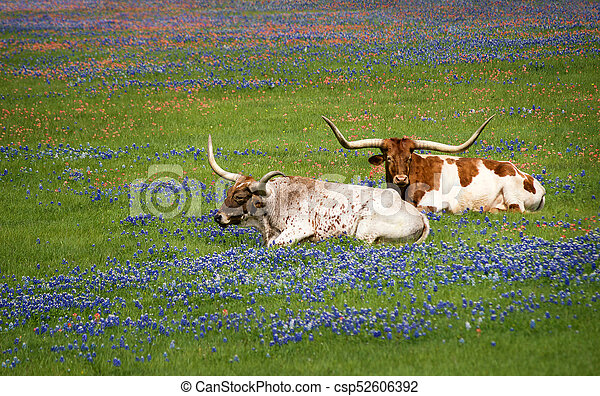 Ganado de Texas Longhorn en Bluebonnets - csp52606392