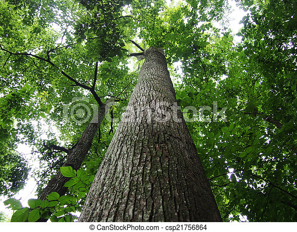 Looking up at tall trees in forest  - csp21756864