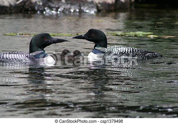 Loons With Babies Pair Of Adult Common Loons With
