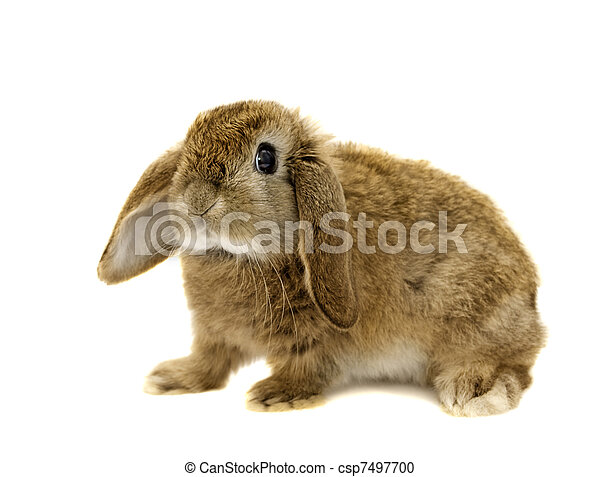 Lop Eared rabbit on a white background (Not Isolated)  - csp7497700