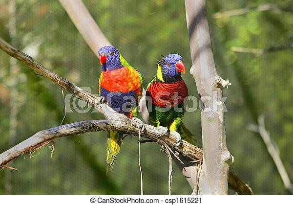 lorikeet birds on a branch - csp1615221