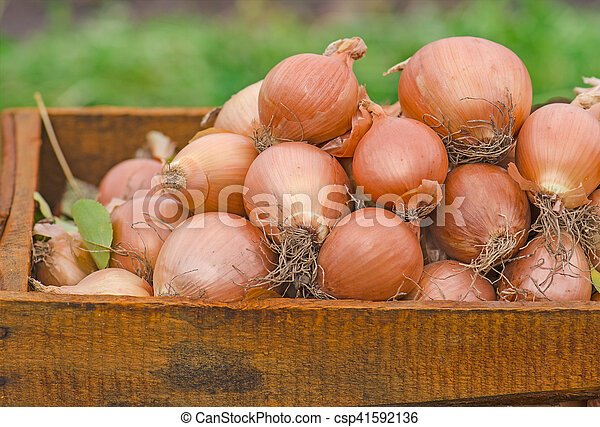 Lot of onions in crate. - csp41592136