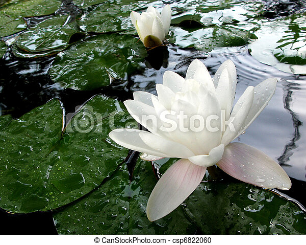 Loto blanco meditativo - csp6822060