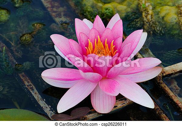 Lotos Wasserblume Lilie Indische Blume Lotos Wasser Indische
