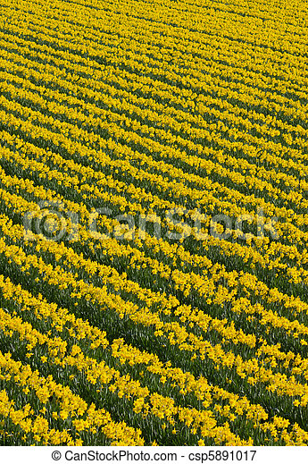 Lots of rows of yellow daffodil flowers in a field. - csp5891017