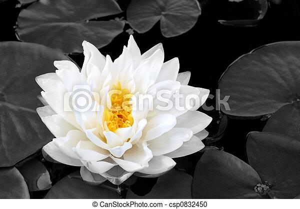 Lotus Beauty - csp0832450