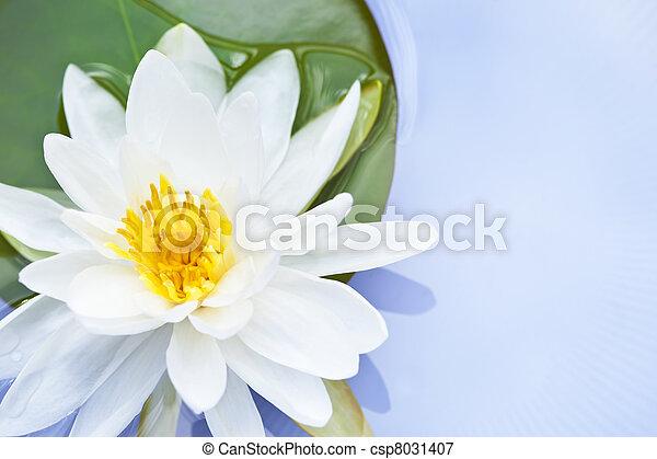 lotus bloem - csp8031407