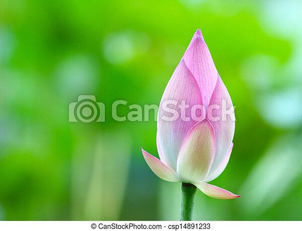 Lotus bud close up - csp14891233