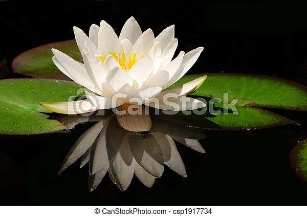 lotus, fleur blanche - csp1917734