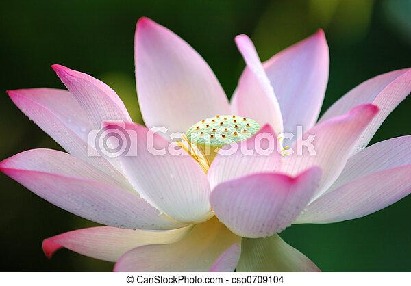 lotus fleur - csp0709104