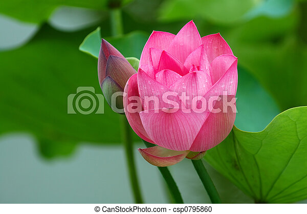 lotus flower and bud a view of lotus flower and bud in pond