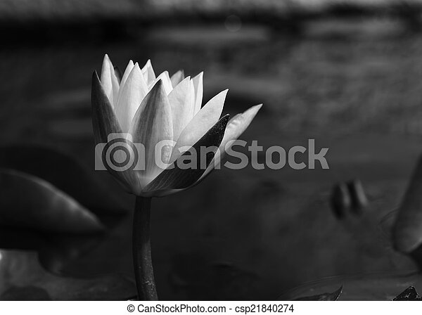 Lotus flower, black and white monochrome.