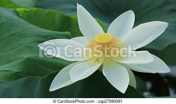 Lotus flower blooming in pond mightylinksfo