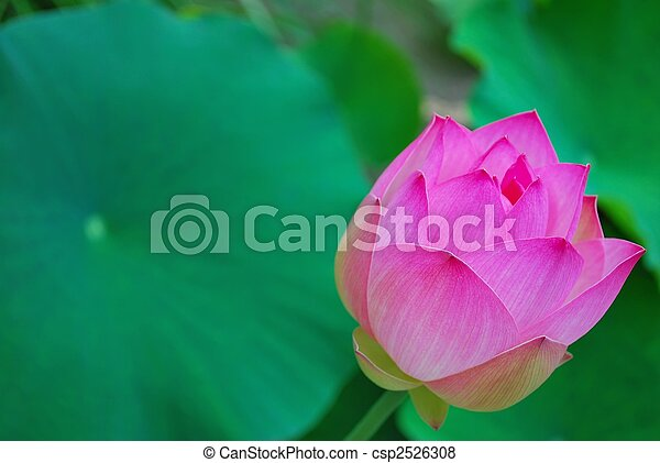 Lotus Flower Bud Symbolizing Religion Buddhism Purity Serenity