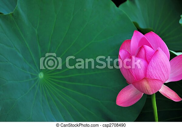 Lotus flower bud with huge leaf lotus flower bud symbolizing lotus flower bud with huge leaf csp2708490 mightylinksfo