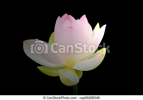 Lotus flower buds with isolated black background stock photo lotus flower buds csp56268348 mightylinksfo